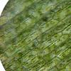 研究人员揭示了植物体胚发生的分级转录调控网络