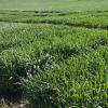 植物育种者的目标是释放商业上经济且环境可持续的品种