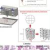 用3D生物打印时空定义的生长因子模式控制组织再生