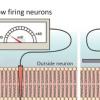 模型显示神经元射击的速度会影响其同步能力