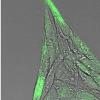 具有生物活性的纳米胶囊可劫持细胞行为
