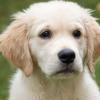 甲状腺功能减退症与犬T区淋巴瘤发展之间可能存在遗传联系