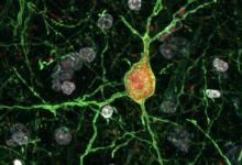 小鼠和其他哺乳动物中神经元病毒操纵的新策略
