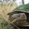清除海龟对淡水生态系统健康至关重要