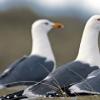 新研究发现鲱鸥关注人类凝视
