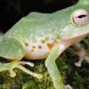 菲律宾发现森林蛙的新物种