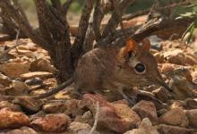 科学家重新发现哺乳动物的长期丢失物种