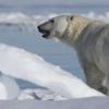 北方变薄的北极熊正在短期受益