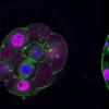 研究发现胎盘发育发生在胚胎形成前几天
