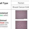 科学家发现了一种天然食物色素 可以区分细胞培养物中的活细胞和死细胞