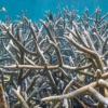 棘孢属 珊瑚仍在伯利兹珊瑚花园的避难所中壮成长