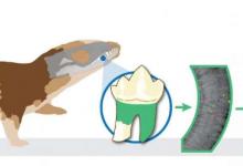 古老的小牙齿揭示出第一批哺乳动物的生活更像爬行动物