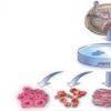FAU研究人员获得NIH资助以分析干细胞活化