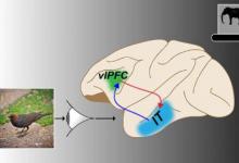 神经通路对于灵长类动物成功快速识别目标至关重要