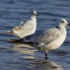 沙丘生态系统中宠物的存在与沿海鸟类的保护不相容
