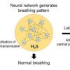 硫化氢有助于维持呼吸动力