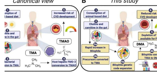 与动物性饮食相关的肠道细菌可能会降低心血管疾病的风险