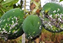 新研究绘制了毁灭性木瓜粉虱有害生物在全球的潜在分布