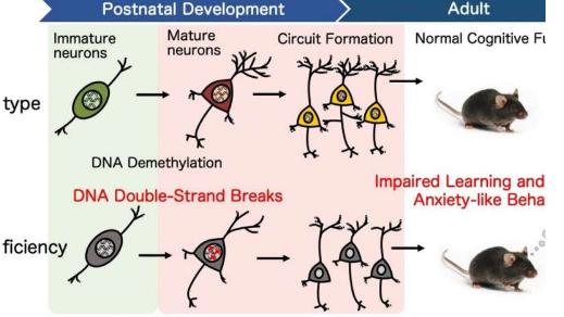 DNA修复支持大脑认知发展