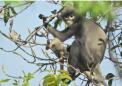 缅甸新发现的灵长类动物已经面临灭绝