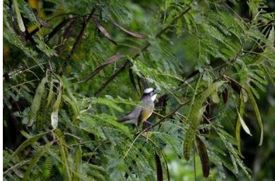生态学家与震耳欲聋的昆虫作斗争 同时通过亚热带日本的声学调查评估生物多样性
