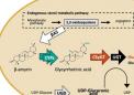 新发现的酶有助于制造有价值的生物活性皂苷