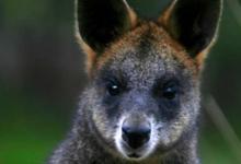 松露嚼小袋鼠为森林保护提供了新的思路