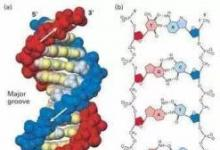 """新发现的蛋白质阻止真菌""""流血"""""""