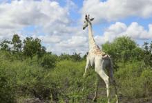 世界上最著名的白长颈鹿获得GPS跟踪设备