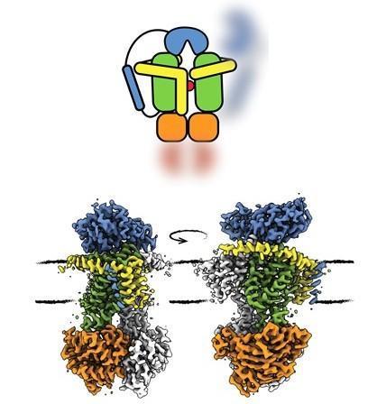 转运蛋白双重制动可防止细胞爆炸