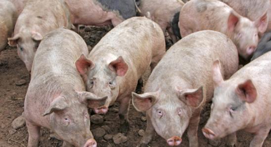 益生菌可以改善猪的大肠健康并有效利用营养