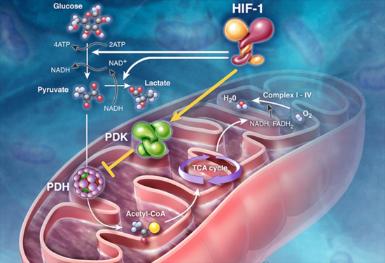 与线粒体相关基因在扩张型心肌病中的重要性