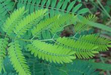含羞草被发现可有效治疗许多慢性疾病