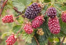 波森莓如何影响胆固醇代谢和动脉粥样硬化