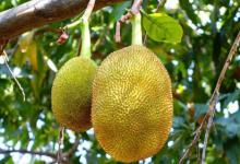 菠萝蜜可以帮助贫困文化提供食物独立性