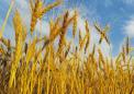 覆盖作物可以促进并保持冬小麦作物的土壤肥力