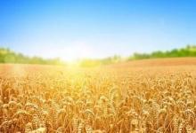 具有里程碑意义的研究为全球小麦改良产生了第一个基因组图集