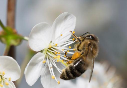 农药和粮食供应的减少以创纪录的速度杀死了蜜蜂