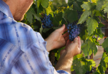 葡萄种植者可以通过尽早摘除叶子来增加葡萄酒中的营养成分