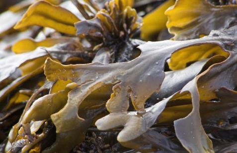 可生物降解的海藻可能会很快取代食品上的塑料包装