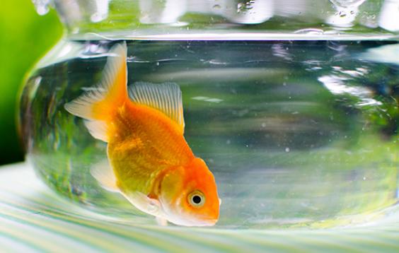 金鱼体内充满酒精可以在无氧的冷冻水中存活数天