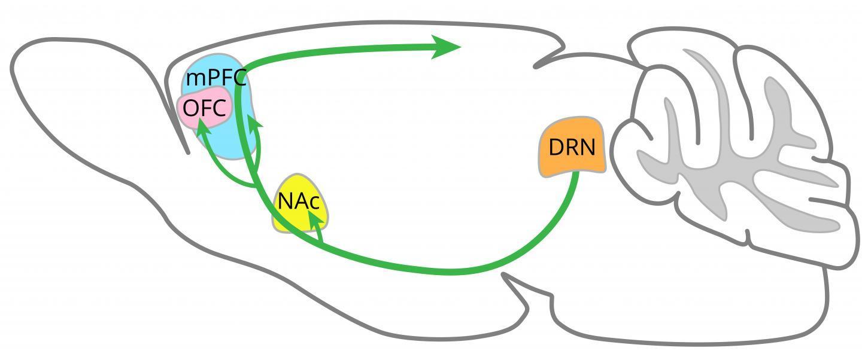 科学家揭示了5羟色胺促进耐心的大脑区域