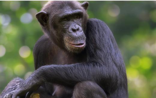 科学家观察到的黑猩猩正在改变其狩猎行为