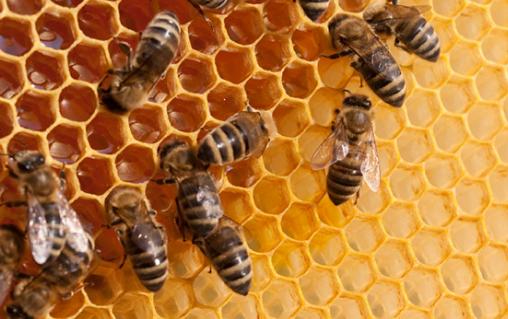 益生菌可以保护蜜蜂免受农药的毒害