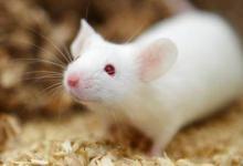 日本筑波大学的研究人员发现小鼠的正常睡眠依赖于细菌