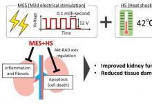 轻度电刺激伴热休克可改善肾脏疾病