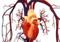 科学家找到一种生长人类心脏的方法