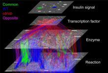 肥胖会改变细胞对葡萄糖的反应