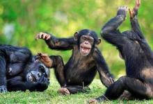 科学家鉴定出第二例黑猩猩唐氏综合症