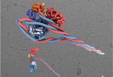 可视化图像揭示了肌肉蛋白质节省能量的巧妙方式